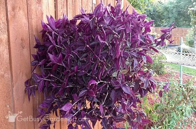 Wandering jew hanging plant