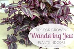 Tips For Growing Wandering Jew Plants Indoors
