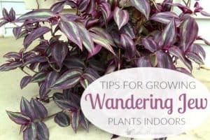 Tips For Growing Wandering Jew Plants Indoors