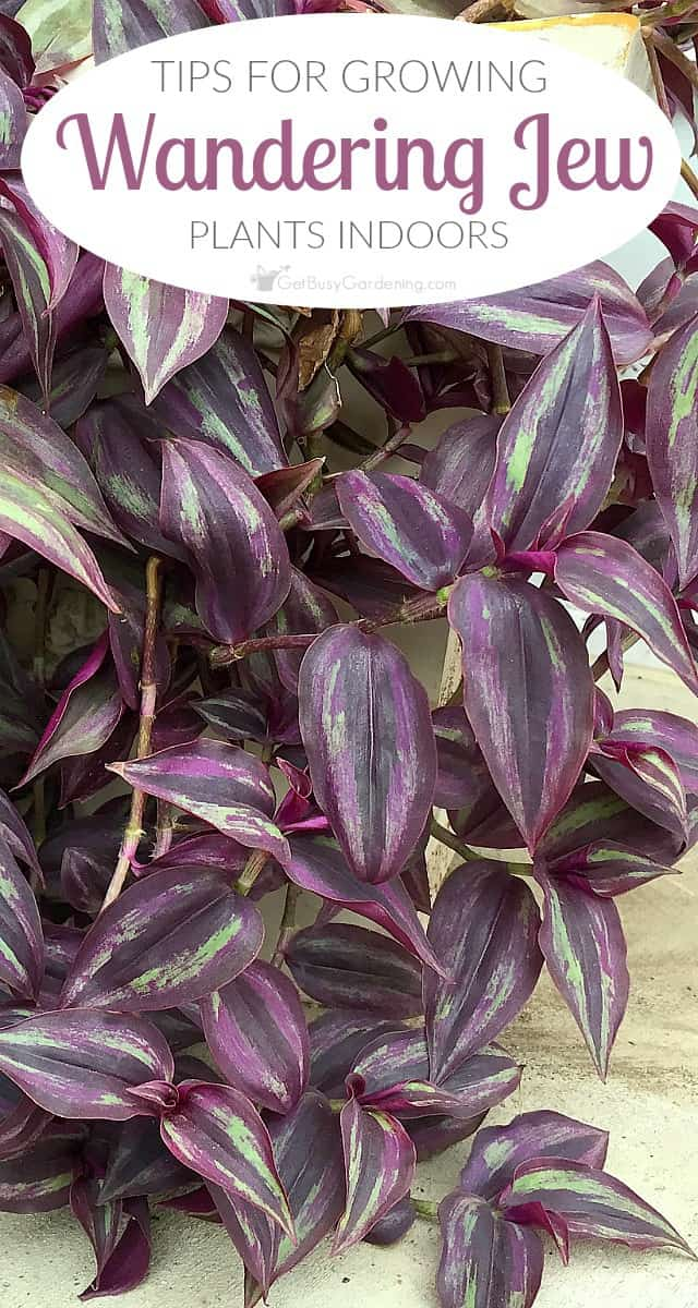 wandering jew plant care tips for growing wandering jew plants indoors. Black Bedroom Furniture Sets. Home Design Ideas