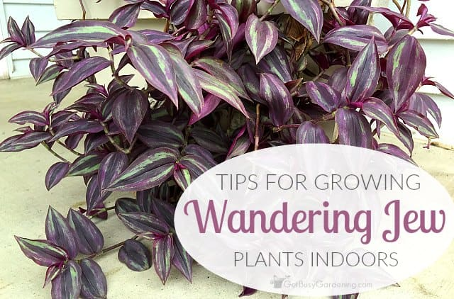 Wandering Jew Plant Care: Tips For Growing Wandering Jew Plants Indoors