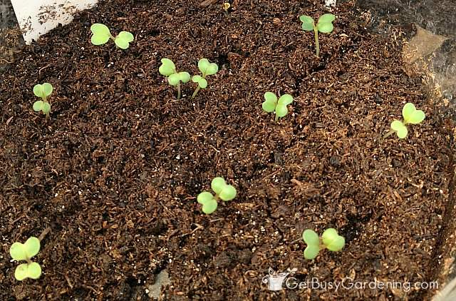Baby broccoli seedlings