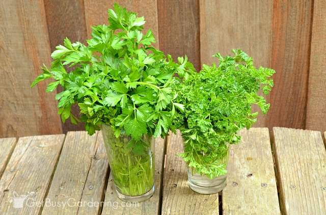 Fresh parsley harvested from the garden