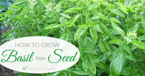 how to grow basil from seed a guide to starting basil from seed. Black Bedroom Furniture Sets. Home Design Ideas