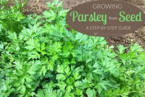 Growing Parsley From Seed: A Step-By-Step Guide For Beginners