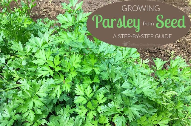 Growing parsley from seed a step by step guide for beginners - Tips planting herbs lovage parsley dill ...