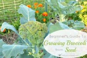 A Beginner's Guide To Growing Broccoli From Seed
