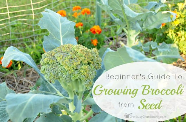 A beginners guide to growing broccoli from seed mightylinksfo