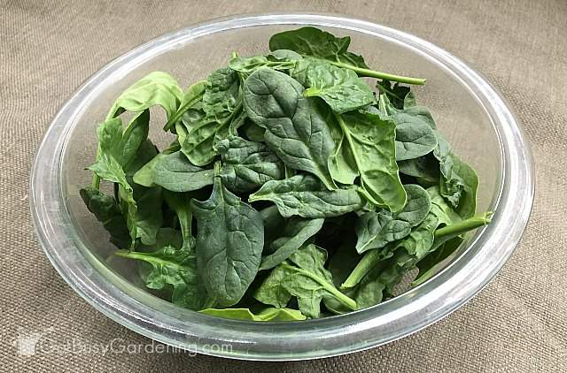 Harvesting spinach from my garden