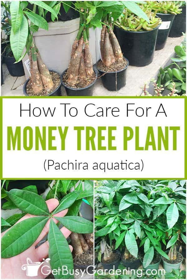 How To Care For A Money Tree Plant (Pachira aquatica)