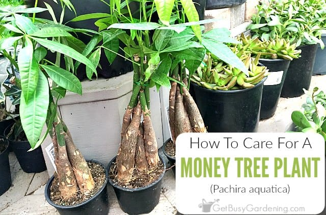 Money Tree Plant Care Guide How To Take Care Grow Indoors