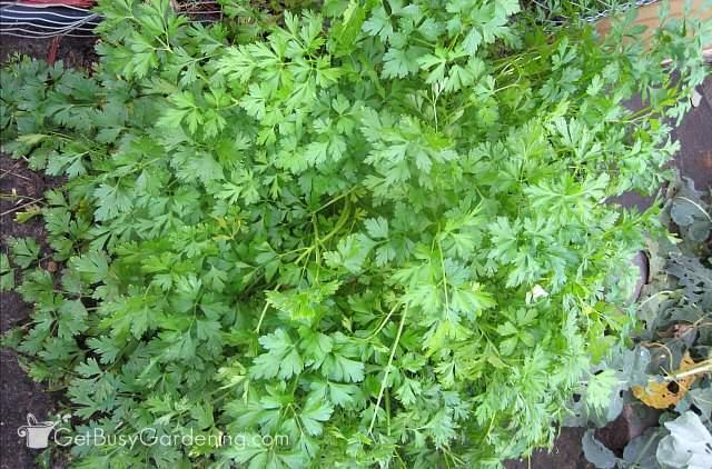Parsley plant growing in my herb garden