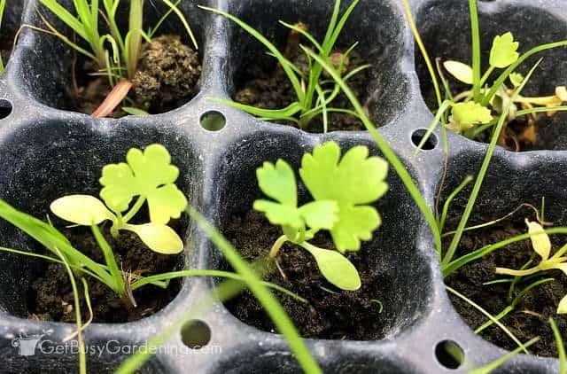 Parsley seedlings growing first true leaves