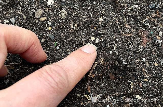 Planting spinach seeds directly in the garden