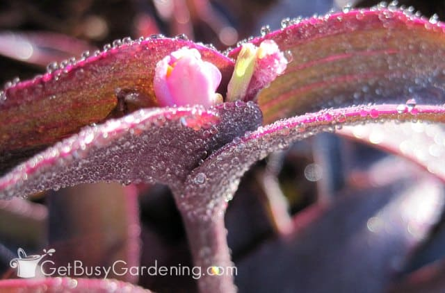 Purple heart wandering jew plant flower