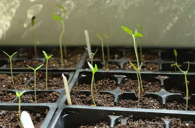 Seedlings not getting enough light