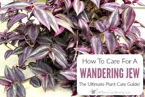 Wandering Jew Plant Care Guide: How To Grow Wandering Jew Plants