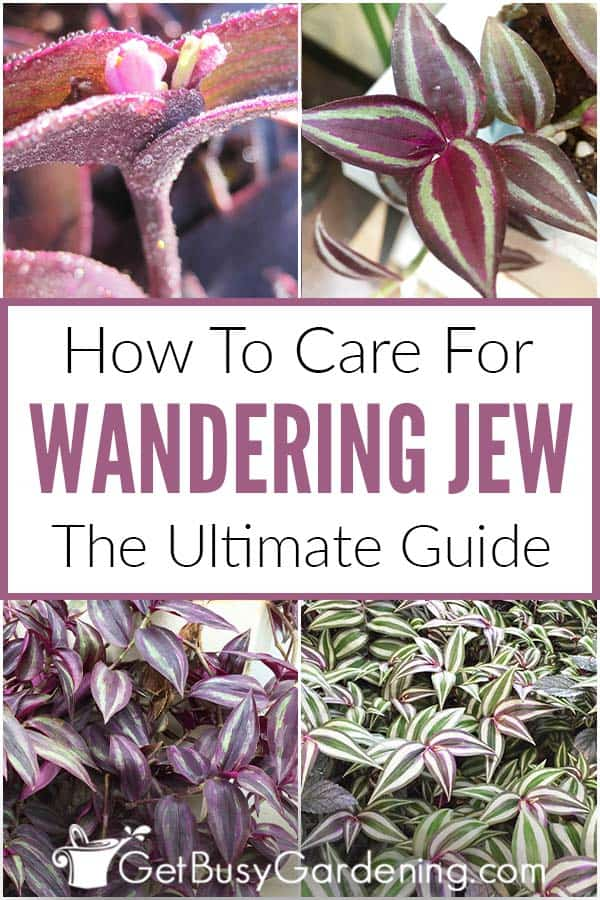 How To Care For Wandering Jew: The Ultimate Guide