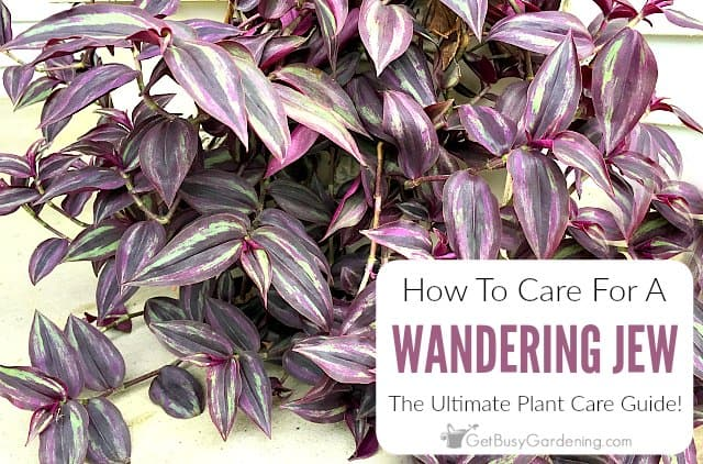 Wandering Jew Plant Care Guide Get Busy Gardening