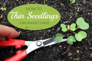 How To Thin Seedlings: A Beginner's Guide For Thinning Out Seedlings