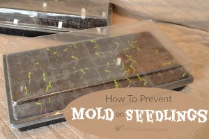 Mold On Seedlings: How To Prevent Mold From Growing In Your Seed Trays