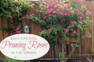 Easy Tips For Pruning Roses In The Spring