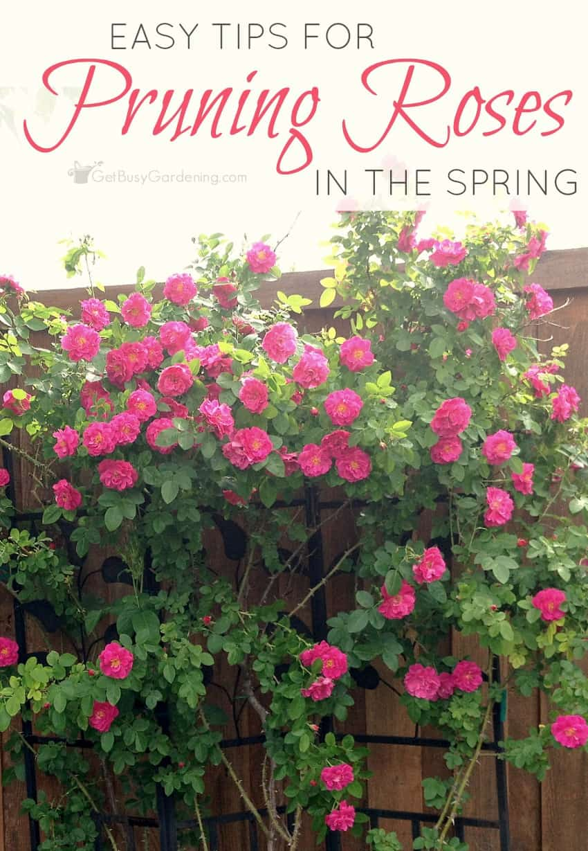 Properly pruning roses helps to prevent disease and encourage tons of flowers. Learn how by following these easy steps for pruning roses in spring. (AD)