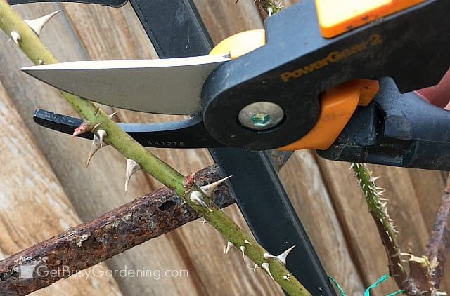 Using Fiskars pruning shears for pruning rose