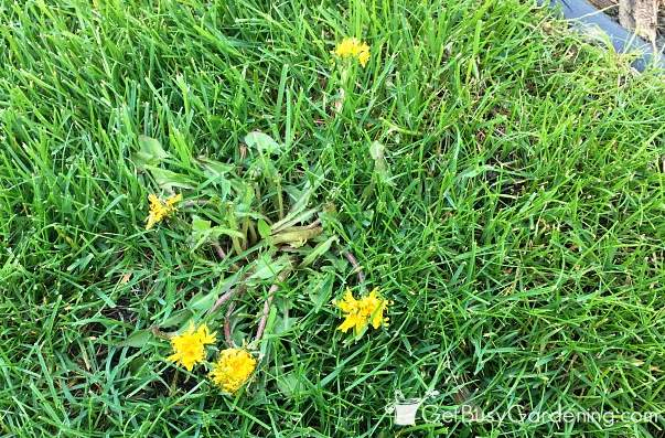 Dandelions in my grass