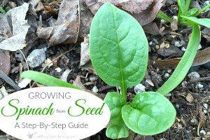 Growing Spinach From Seed: A Step-By-Step Guide For Beginners