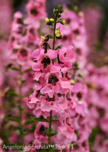 Angelonia Serenita has long pink flowers