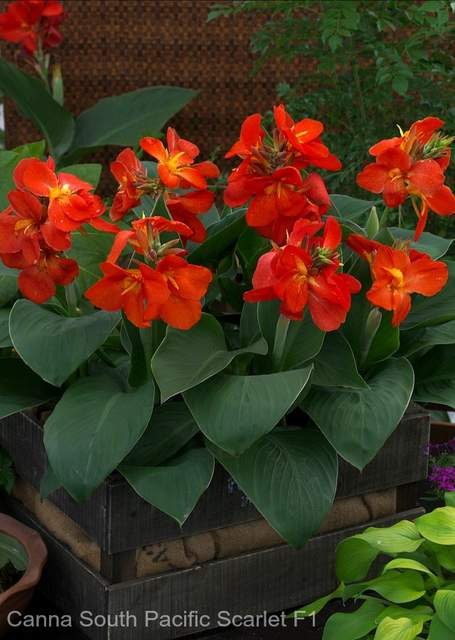 'Canna South Pacific Scarlet' potted flower garden thriller plant