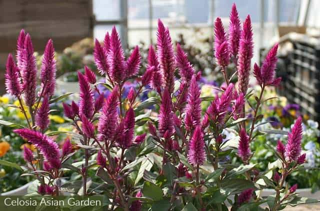 Celosia asian garden dark pink spiky flowers