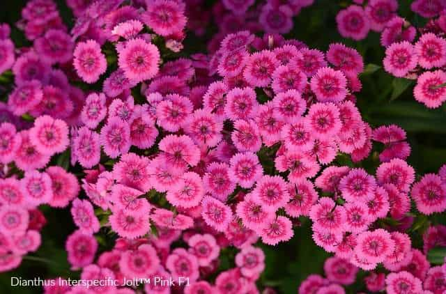 Dianthus Jolt has bright pink blooms