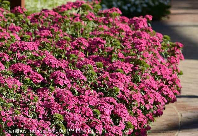 Dianthus Jolt pink blooms for theme garden