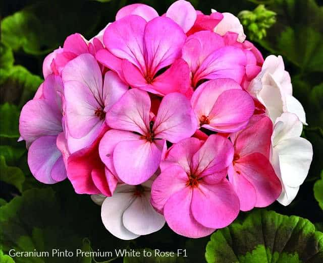 Geranium Pinto Premium pink and white flowers change colors
