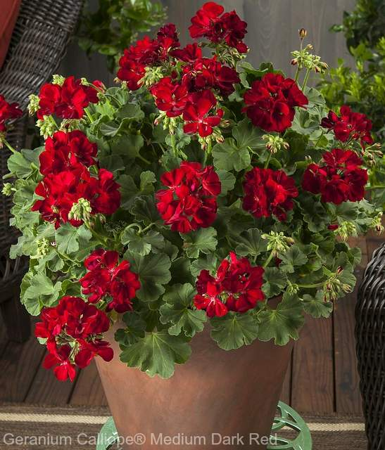 Geraniums are fillers container garden plants