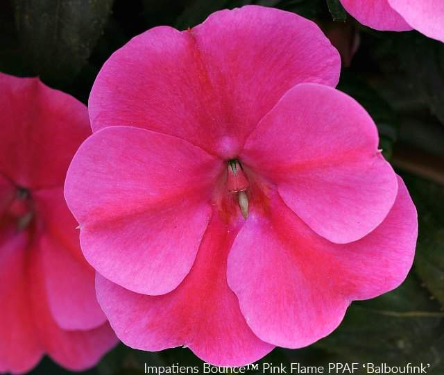 Impatiens Bounce Pink Flame has cute little hot pink flowers