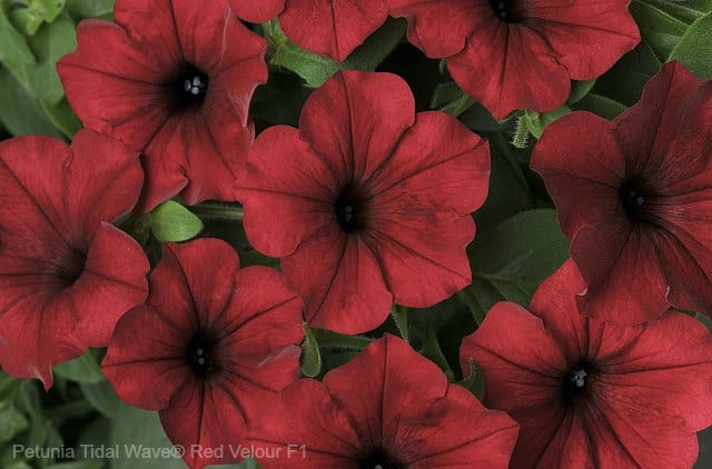 'Petunia Tidal Wave® Red Velour' spiller plant for potted flower gardens