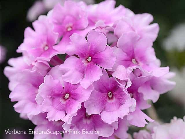 Pink round flowers of Verbena Endurascape