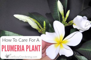 Plumeria Plant Care Guide: How To Grow Plumeria Plants