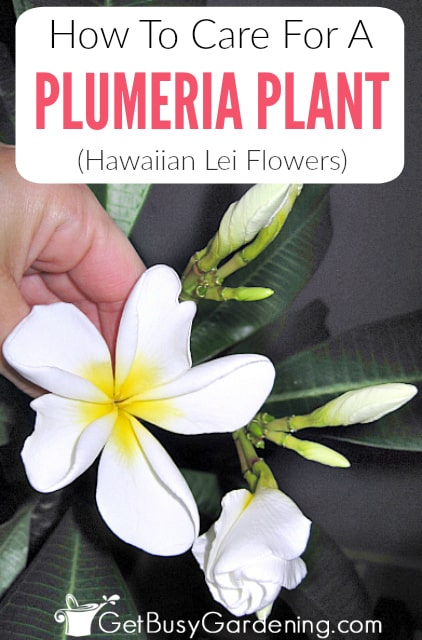 Plumerias (Hawaiian frangipani) are popular tropical plants that are easy to grow. Learn everything you need to know about how to grow plumerias with these detailed plumeria plant care instructions, including watering, indoor lighting, fertilizer, soil, pest control, how to prune plumeria, and fixing common problems.