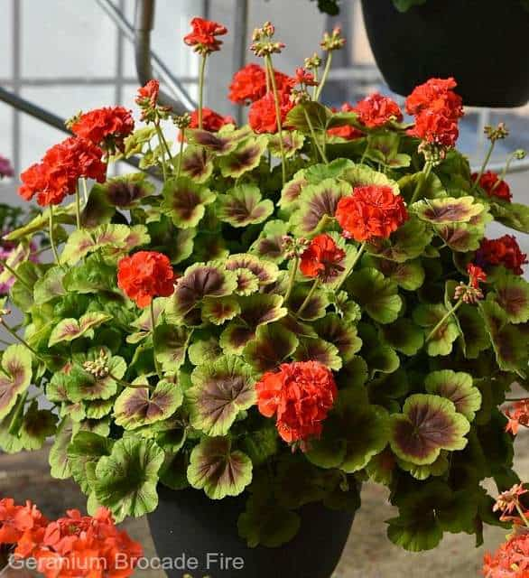 'Geranium Brocade Fire' flower container filler plant