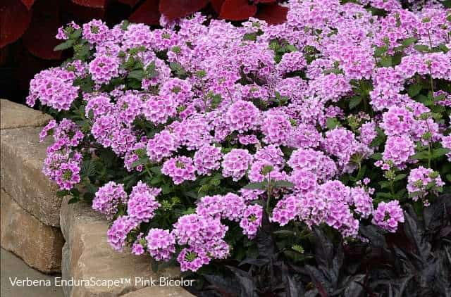Verbena Endurascape perfect for a pink colored garden