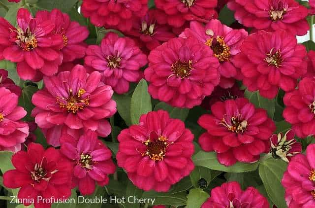 Zinnia Profusion Double Hot Cherry has gorgeous dark pink flowers