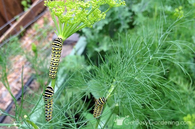 Dill is a butterfly host plant for black swallowtails