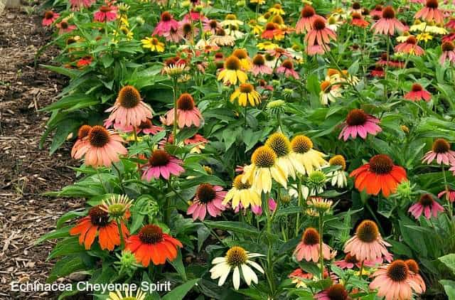 Echinacea Cheyenne Spirit are perennials that attract butterflies