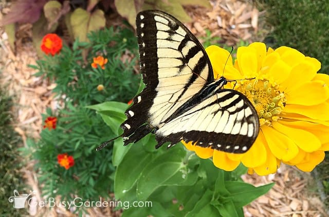 Male tiger swallowtail in the butterfly garden