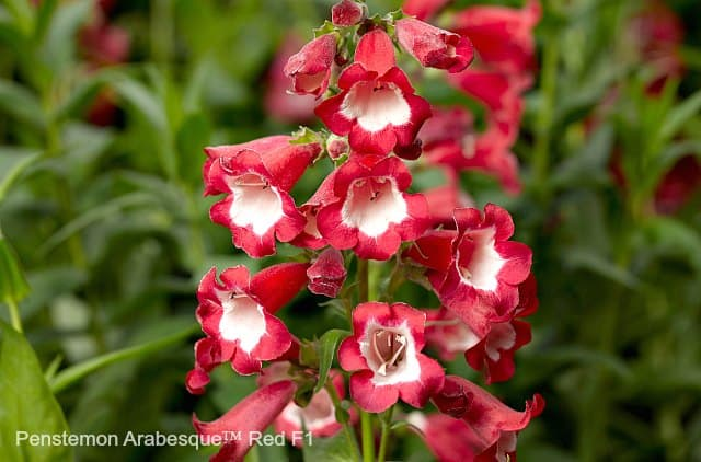Penstemon Arabesque Red is an attractive plant for butterflies