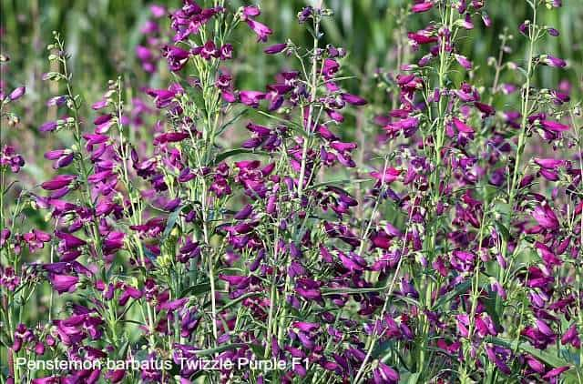 Penstemon Twizzle Purple is one of the best flowers to attract butterflies